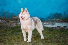 De jonge Grappige Witte Husky Puppy Dog With Blue-Ogen spelen Openlucht Royalty-vrije Stock Afbeelding