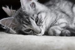 De jonge grijze Maine Coon-kat met blauwe ogen ligt en stelt aan camera Mooi weinig kat die aan camera vóór slaap kijken SL Royalty-vrije Stock Foto