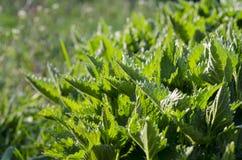 De jonge Groene de Lentenetel groeit in de tuin onder de zon royalty-vrije stock afbeeldingen