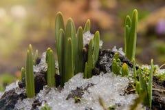 De jonge groene onderbrekingen van bloemenspruiten door bevroren grond met sneeuw in de lente stock afbeeldingen