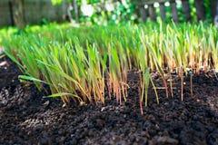 De jonge groene roggespruiten met zonnige dauwdalingen dunged land op landbouwbedrijf Stock Foto