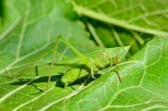 De jonge, groene sprinkhaan eet de bladeren in de tuin Stock Afbeelding