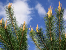 De jonge groene tak van de pijnboom. Stock Foto's
