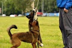 De jonge hond luistert aan de eigenaar en oefent functies op het bevel uit Braaf en intelligente hond Opleiding stock fotografie