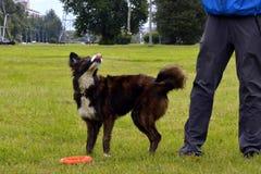 De jonge hond luistert aan de eigenaar en oefent functies op het bevel uit Braaf en intelligente hond Opleiding stock afbeelding