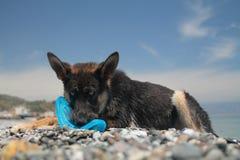 De jonge hond van de Duitse herder Stock Fotografie