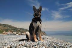 De jonge hond van de Duitse herder Stock Foto