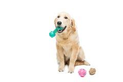 De jonge hond van het beautiulgolden retriever stock foto's