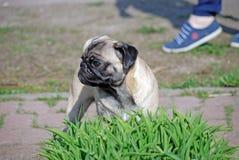 De jonge hond van ras pug door bijnaam Bonnie loopt in het park stock afbeelding