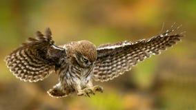 De jonge ittleuil vliegt Royalty-vrije Stock Foto