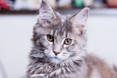 De jonge kat van de Wasbeer van Maine Stock Afbeelding