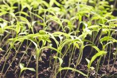 De jonge kleine groene spruiten groeien van de grond, close-up royalty-vrije stock fotografie