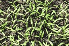 De jonge kleine groene spruiten groeien van de grond, close-up, wedijvert de bovenkant royalty-vrije stock foto