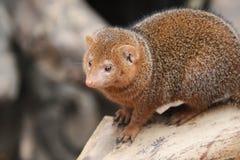 De jonge kleine mongoes zit op een ontbroken hard hout Stock Foto
