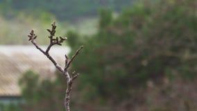 De jonge knoppen van de nootboom beginnen op regen dichte omhooggaand te openen stock footage