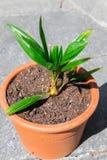 De jonge kokosnoot van het de palmblad van de babyspruit stock afbeelding