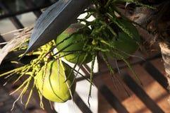 De jonge kokosnoten en de takken van zijn bloem Stock Foto's