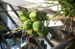 De jonge kokosnoten en de takken van zijn bloem Royalty-vrije Stock Afbeeldingen