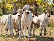 De jonge kudde van de Brahmaan op boerderij Australisch slachtvee Stock Fotografie