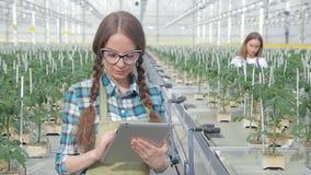 De jonge landbouwer controleert gewas van tomaten in serreclose-up De mooie vrouw houdt in handentablet stock footage