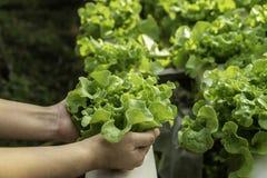 De jonge landbouwer houdt de plantaardige groene eiken, Hydroponic technologie van het eco organische moderne slimme landbouwbedr royalty-vrije stock foto's