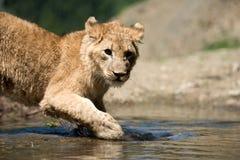 De jonge leeuwwelp drinkt water Stock Foto
