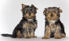 De jonge leuke puppy die van Yorkshire Terrier op een witte achtergrond stellen huisdieren Royalty-vrije Stock Fotografie