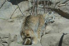 De jonge Lynx van Canada in Motie Stock Afbeeldingen