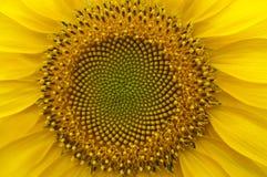De jonge macro van de bloemzonnebloem Royalty-vrije Stock Afbeeldingen