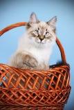 De jonge maskerade van kattenneva zit en speelt in de bruine mand, bl royalty-vrije stock fotografie
