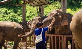 De jonge mens voedt olifanten met bananen in een heiligdom in jun royalty-vrije stock fotografie