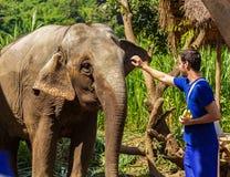 De jonge mens voedt olifanten met bananen in een heiligdom in de wildernis van Chiang Mai stock afbeeldingen