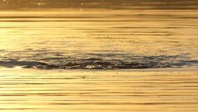 De jonge mens zwemt schoolslag in een bosmeer bij zonsondergang in slo-mo stock video
