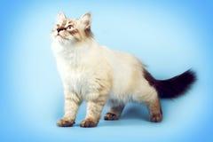 De jonge mooie maskerade van Neva van het kattenras op een blauwe achtergrond i stock foto