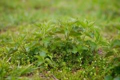 De jonge netel van het de lentekruid stock foto's