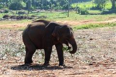 De jonge olifant eet een installatie Royalty-vrije Stock Afbeeldingen