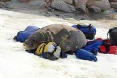 De jonge olifantsverbinding in ruit op duffel zakken Royalty-vrije Stock Foto
