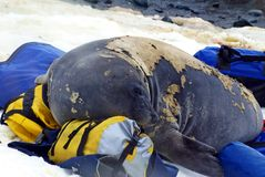 De jonge olifantsverbinding in ruit op duffel zakken Stock Foto
