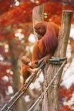 De jonge orangoetan slaapt op zijn moeder Stock Afbeelding