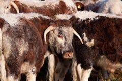 De Jonge os van Dorset Longhorn Royalty-vrije Stock Afbeeldingen