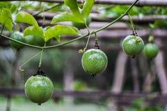 De jonge passievrucht groeit op de tak van de passievruchtboom royalty-vrije stock afbeeldingen