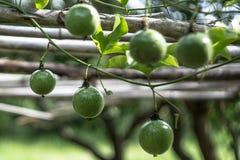 De jonge passievrucht groeit op de tak van de passievruchtboom stock foto's