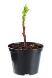 De jonge plant groeit van vruchtbare grond bent geïsoleerd op een wit Stock Foto