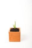 de jonge plant van aloëvera in pot Stock Afbeelding