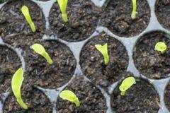 De jonge planten met waterdalingen in cultiveert dienblad vanaf de bovenkant Stock Foto's