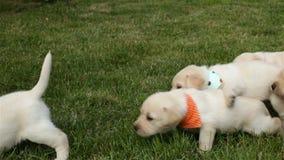 De jonge puppy die van Labrador melk status zuigen stock videobeelden