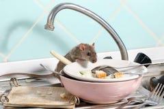 De jonge rat beklimt in de schotel met de resten van voedsel op een plaat op gootsteen bij de keuken royalty-vrije stock afbeelding
