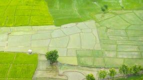 De jonge rijst groeit op de padiegebieden Stock Afbeeldingen