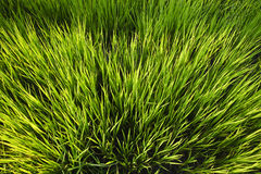 De jonge rijst groeit op de padiegebieden Royalty-vrije Stock Fotografie