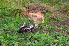 De jonge rode kat slaat grijze kat stock afbeeldingen